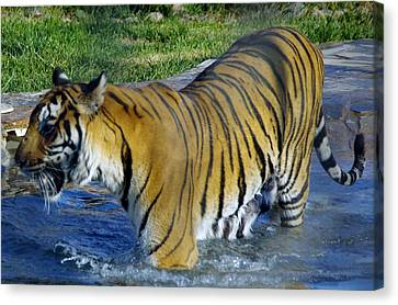 Tiger 4 Canvas Print