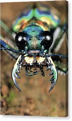 Tiger Beetle Cicindela Chinensis Canvas Print by Satoshi Kuribayashi