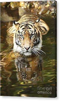 Tiger Canvas Print by Craig Dingle