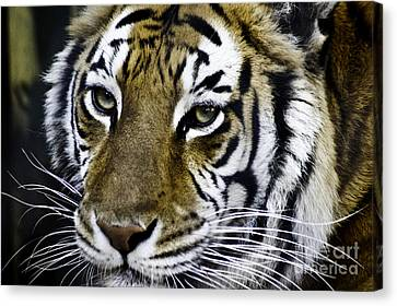 Tiger Canvas Print by D C