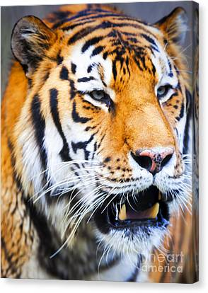 Tiger Canvas Print - Tiger by David Millenheft