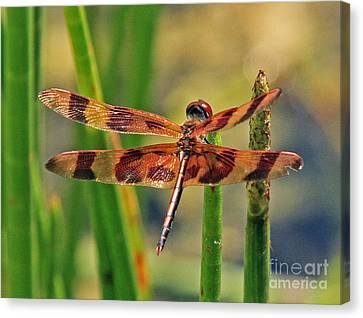 Tiger Dragonfly Canvas Print