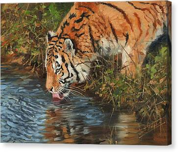 Tiger Drinking Canvas Print by David Stribbling