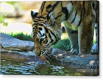 Tiger Drinking Water Canvas Print by Paul Ward