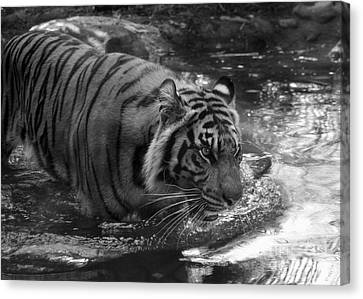 Canvas Print featuring the photograph Tiger In The Water by Lisa L Silva