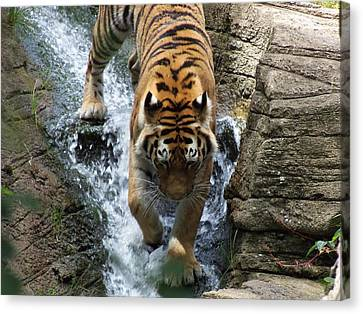 Tiger In The Waterfall Canvas Print by Adam L