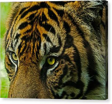 Tiger Canvas Print by John Johnson