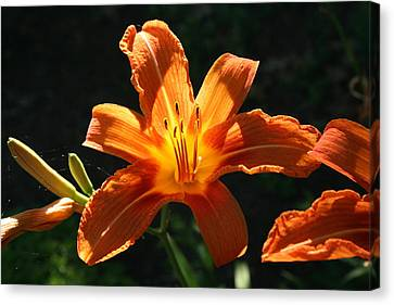 Tiger Lily 1 Canvas Print