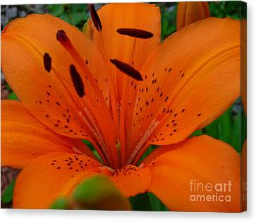 Canvas Print featuring the photograph Tiger Lily by Bianca Nadeau