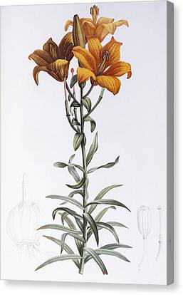 Tiger Lily Canvas Print by Pierre Joseph Redoute