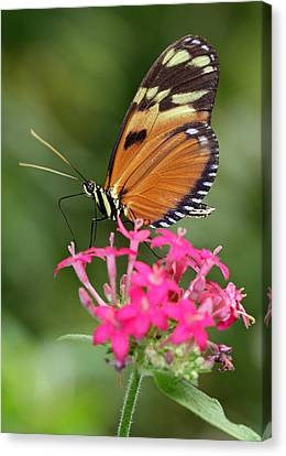 Tiger Longwing Canvas Print by Juergen Roth