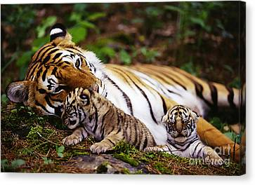 Tiger Canvas Print - Tiger  by Marvin Blaine