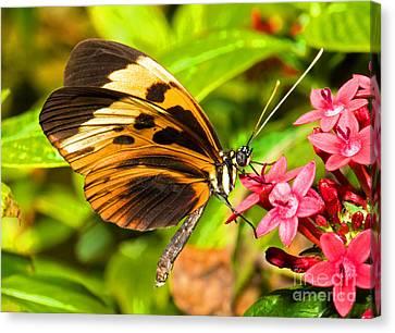 Tiger Mimic Butterfly Canvas Print by Millard H. Sharp