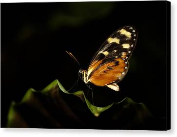 Canvas Print featuring the photograph Tiger Monarch Butterfly by Zoe Ferrie