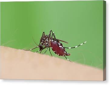 Tiger Mosquito Canvas Print