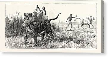 Tiger-netting In Bengal As The Tiger Shoulders His Victim Canvas Print by English School