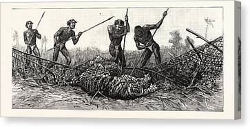 Tiger-netting In Bengal They Spear The Tiger Canvas Print