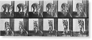 Tiger Canvas Print - Tiger Pacing by Eadweard Muybridge