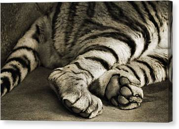 Tiger Canvas Print - Tiger Paws by Dan Sproul