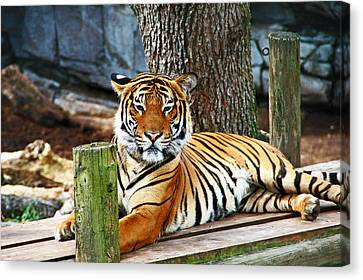 Tiger Portrait Canvas Print by Aimee L Maher Photography and Art Visit ALMGallerydotcom