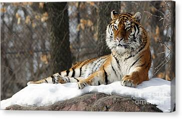 Tiger Relaxing Snow Cover Rock Canvas Print