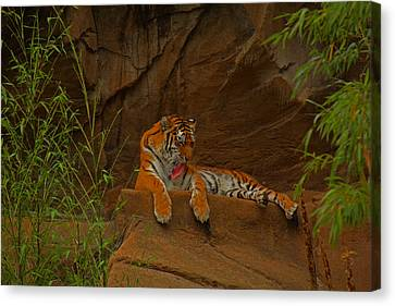 Canvas Print featuring the photograph Tiger Resting by Andy Lawless