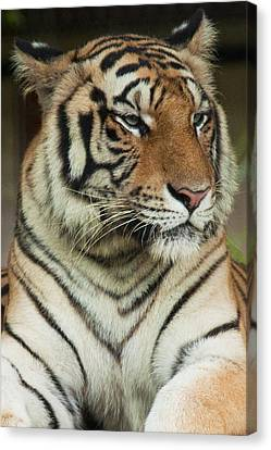 Tiger Canvas Print by Serene Maisey
