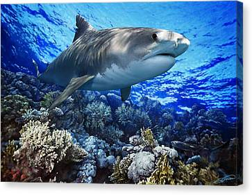 Tiger Shark Galeocerdo Cuvier Canvas Print by Owen Bell