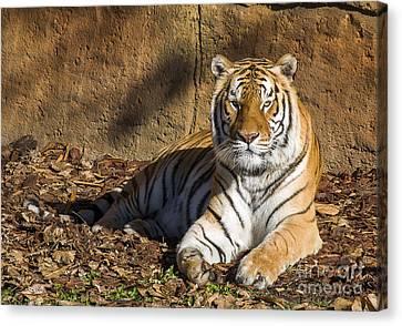 Tiger Canvas Print by Steven Ralser