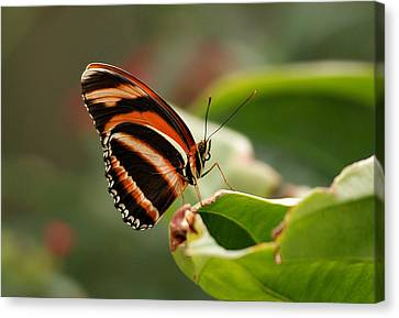 Tiger Striped Butterfly Canvas Print by Sandy Keeton