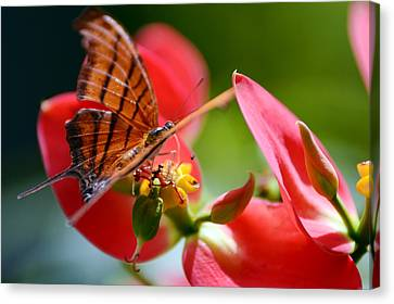 Tiger Stripped Butterfly Canvas Print