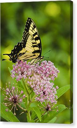 Tiger Swallow Tail Canvas Print by Bradley Clay