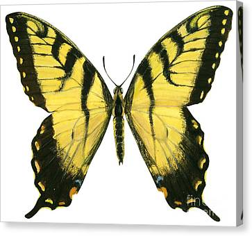 Tiger Swallowtail Canvas Print - Tiger Swallowtail  by Anonymous