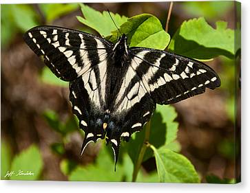 Canvas Print featuring the photograph Tiger Swallowtail Butterfly by Jeff Goulden