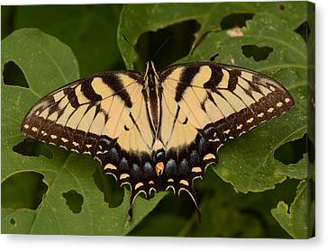 Tiger Swallowtail Butterfly Canvas Print by John Cawthron