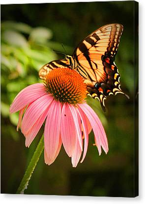 Tiger Swallowtail Feeding Canvas Print by Michael Porchik