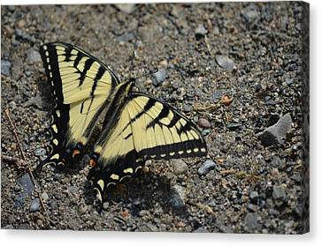 Canvas Print featuring the photograph Tiger Swallowtail by James Petersen