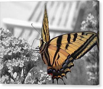 Tiger Swallowtail Canvas Print by Shane Bechler