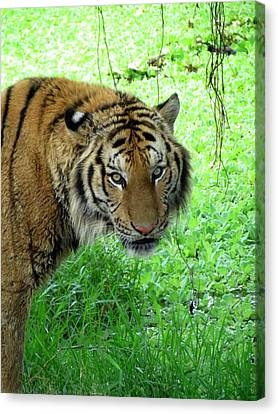 Tiger Tiger Canvas Print by Ramona Johnston