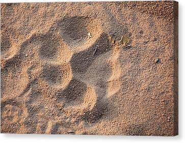 Tiger Track, Bandhavgarh National Park Canvas Print by Art Wolfe