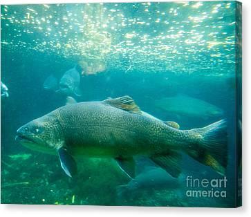 Tiger Trout Salmo Trutta X Salvelinus Fontinalis Underwater Canvas Print by Stephan Pietzko