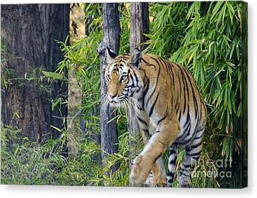 Tiger International Day Canvas Print by Pravine Chester