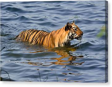 Tigress Of The Lake Canvas Print by Fotosas Photography