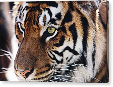 Tigress Three Canvas Print