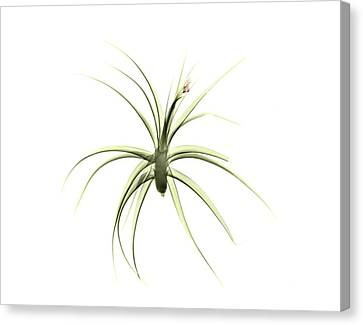 Bromeliad Canvas Print - Tillandsia Plant by Albert Koetsier X-ray