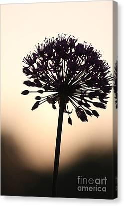 Tilted Silhouette Allium Canvas Print