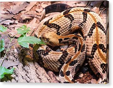Timber Rattler Waiting For Prey Canvas Print