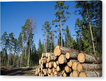 Timber Stack Of Whitewood Canvas Print