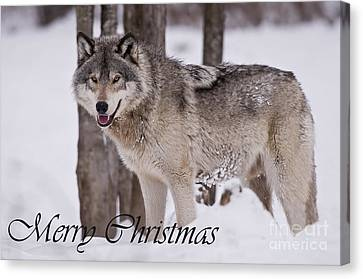 Timber Wolf Christmas Card English 3 Canvas Print by Wolves Only