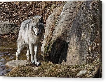 Canvas Print featuring the photograph Timber Wolf In Pond by Wolves Only